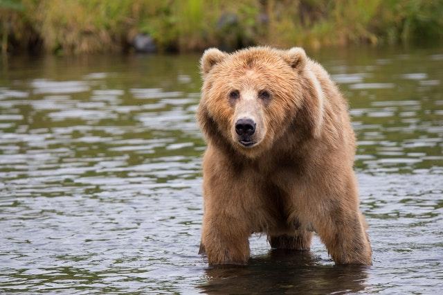 Ours sauvage dans une rivière