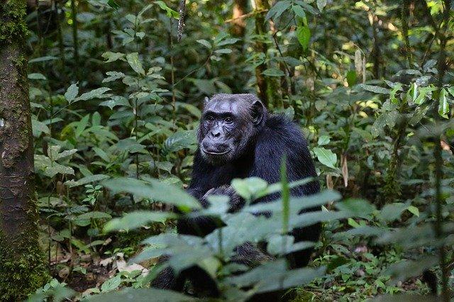 Chimpanzé dans la forêt en Ouganda